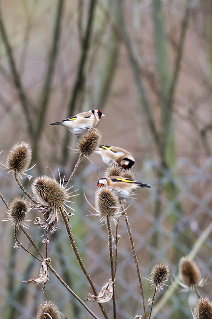 Part of the small charm of Goldfinch