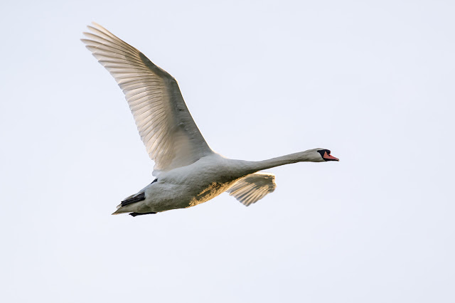 Golden lit Mute Swan