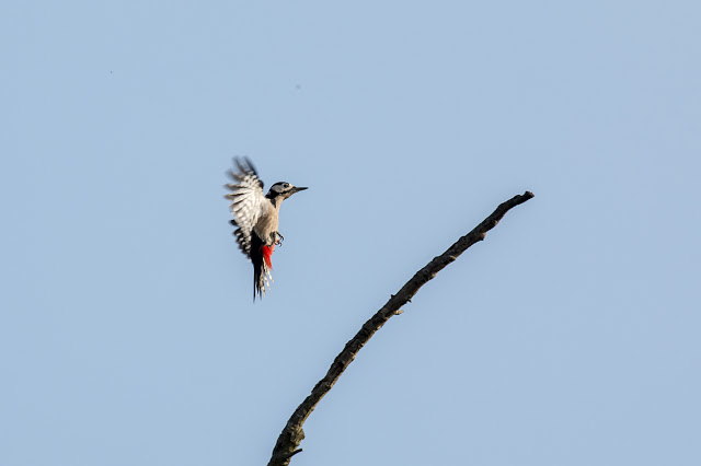 Great spotted Woodpecker coming in to land