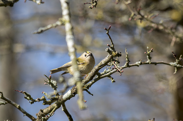Goldcrest peering round a branch