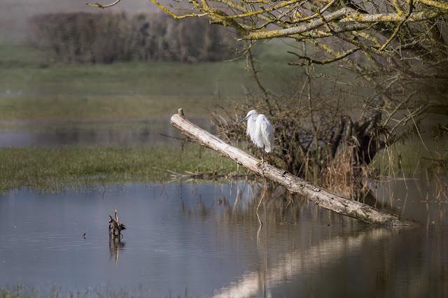 Little Egret climbing a branch