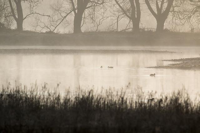 Ducks in the Mist