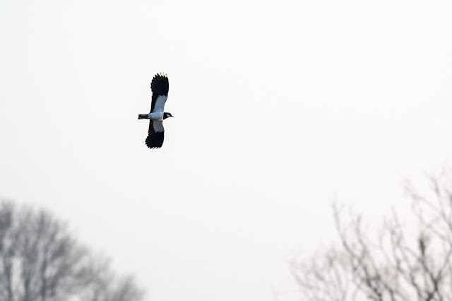 Lapwing display flight