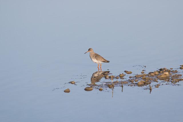 Lone Redshank standing vigil