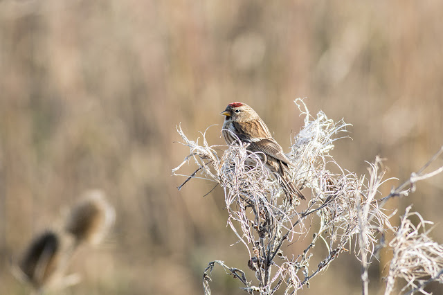 Lesser Redpoll feeding