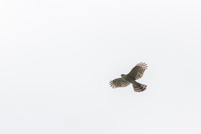Sparrowhawk in Flight