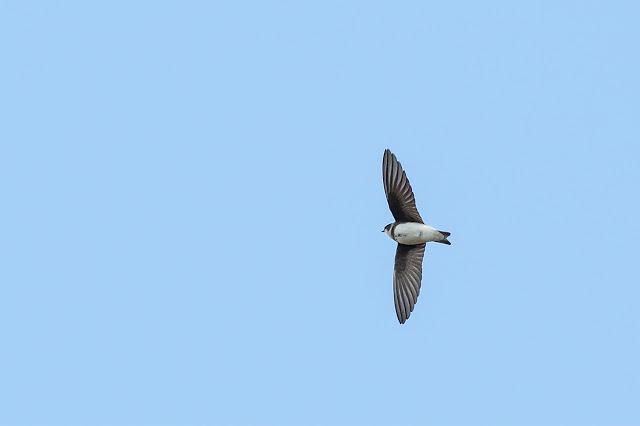 Sand Martin in Flight