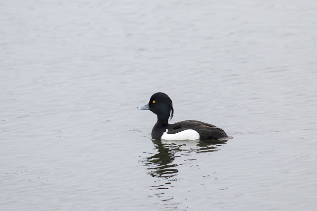Tufted Duck (male) swimming