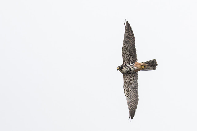 Hobby banking up close (different photo to earlier he was much closer)