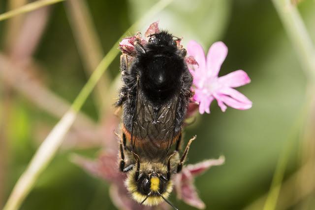 Bombus lapidarius (red tailed bumblebee) mating