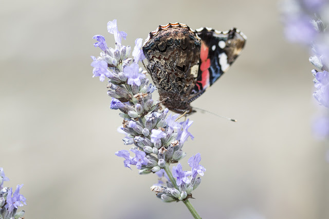 A Walk Amongst Butterflies - Red Admiral feeding on Lavender