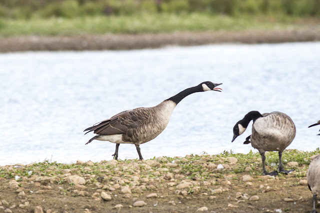 Angry Canada Goose