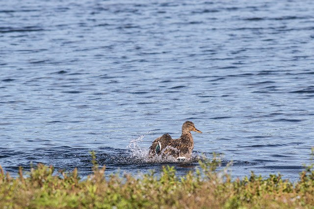 Female Mallard splashing