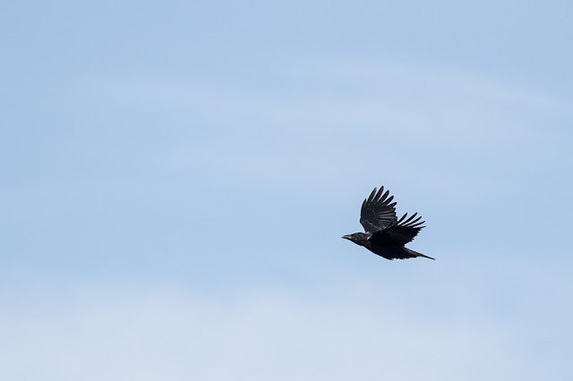 Carrion Crow in flight