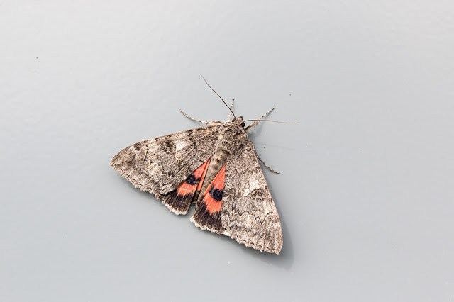 Red Underwing moth on one of the gate signs