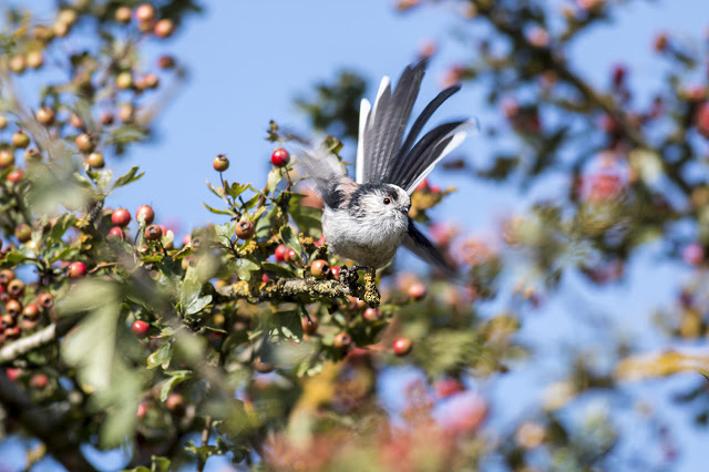 Long-tailed Tit Takeoff