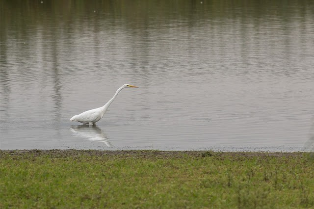Great White Egret in front of Iron Trunk hide at the Floodplain Forest Nature Reserve