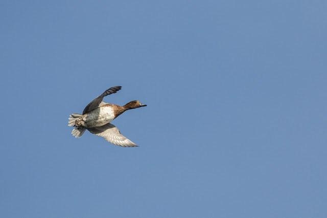 Final Wigeon in Flight