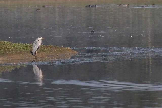 Grey Heron on Stilt Pits