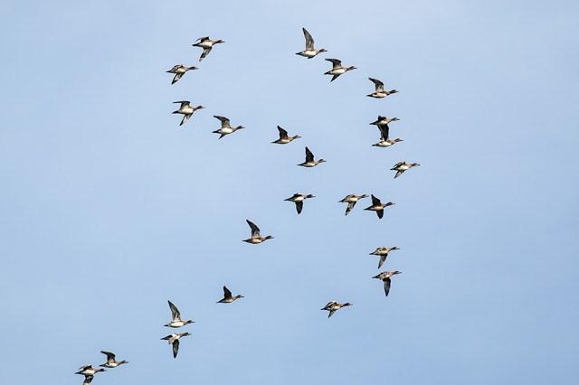 Wigeon Flock in flight