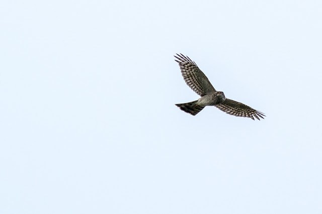Sparrowhawk looking right
