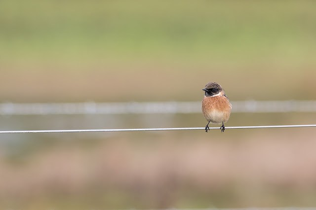 Stonechat Obsession Continues