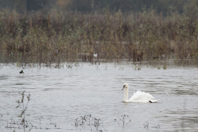 Mute Swan in front of Farm Hide