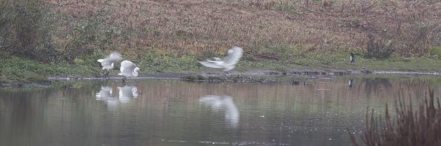 Little Egrets Fighting