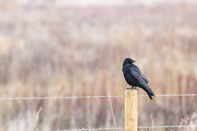 Another of the Carrion Crow