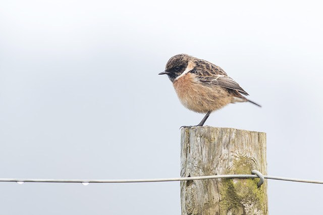 Close Male Stonechat
