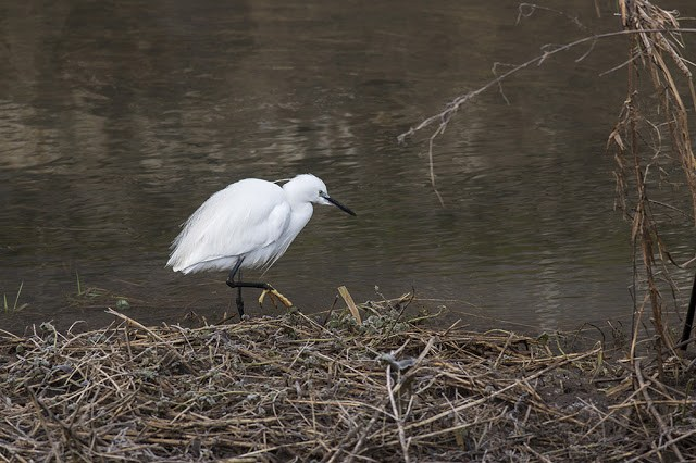 Little Egret Fishing in the River Ouse