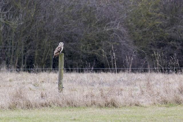 Short Eared Owl on Post