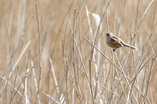 More Bearded Tit