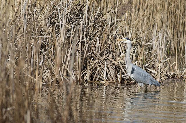 Grey Heron among the reeds