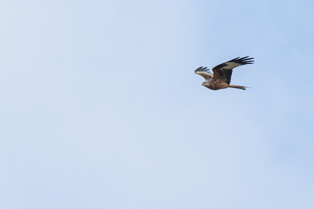 Red Kite moving in