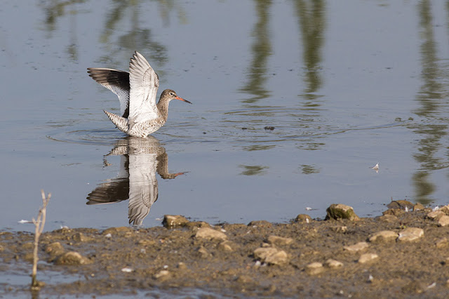 Redshank Flapping