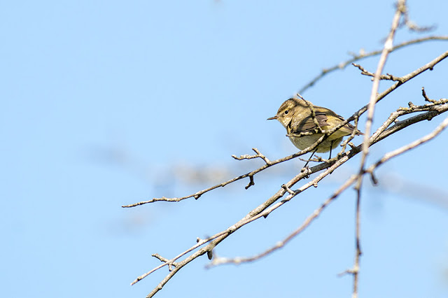 Chiffchaff against blue skies