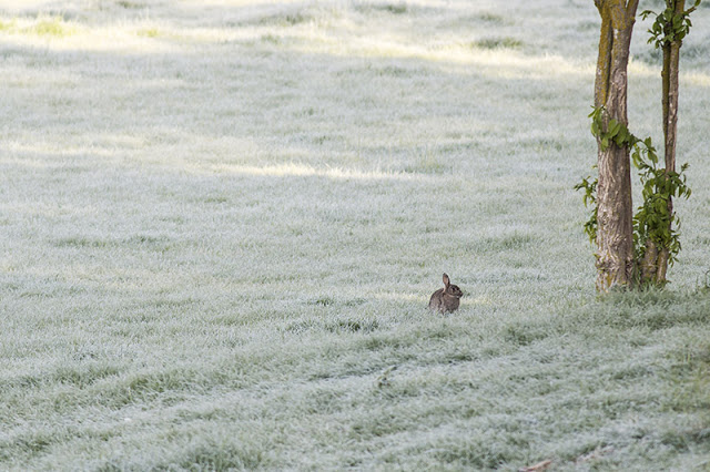 Wonderful Warblers - Baby rabbit in frosty grass