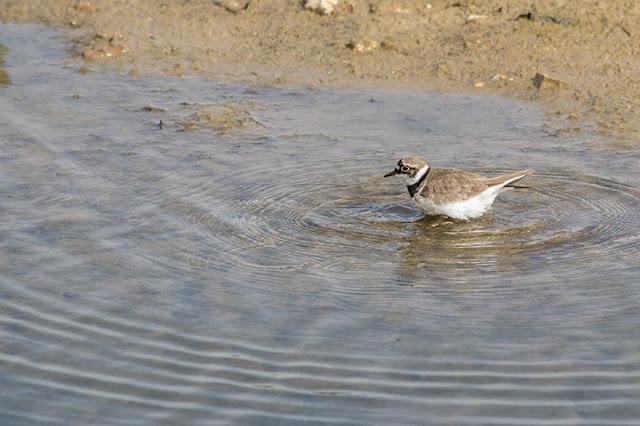 Little Ringed Plover bathing