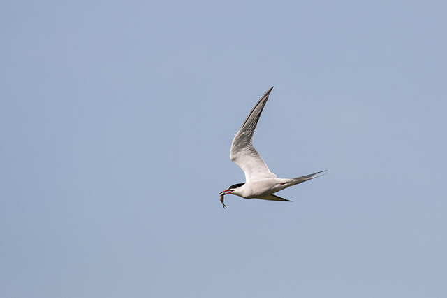 Common Tern with Perch
