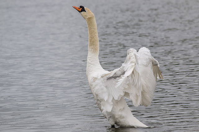 Mute Swan Wing Flapping