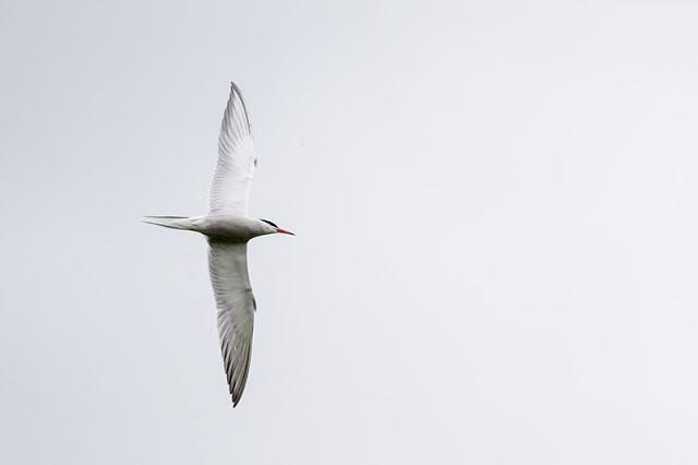 Banking Common Tern