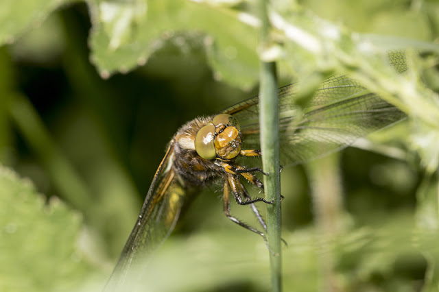 Face on Broad Bodied Chaser