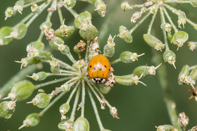 A different view of the rather orange Harlequin Ladybird