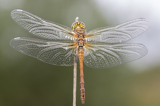 Glassy wings of Common Darter