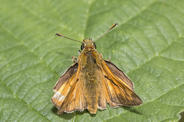 Worn Small Skipper
