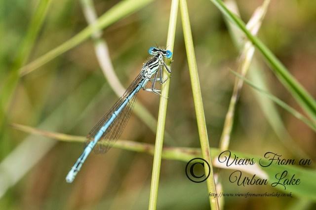 White-Legged Damselfly Male (Platycnemis pennipes) - Teardrop Lakes, Milton Keynes (2014)