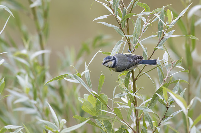 Blue Tit in Willows