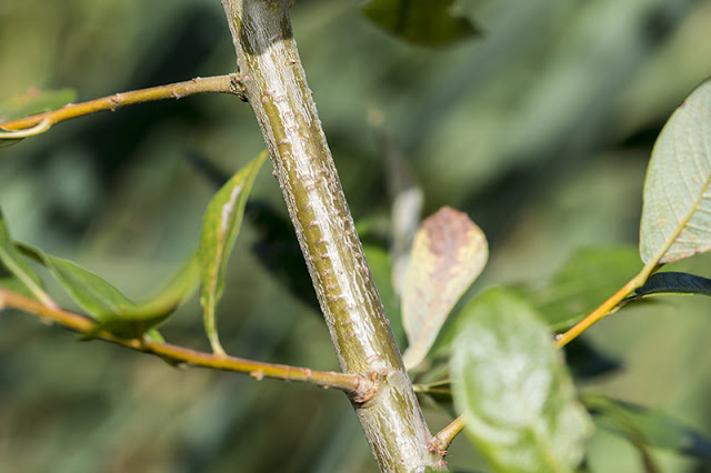 Willow Emerald Galls on willow