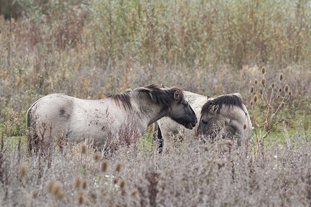 An intimate moment with Konik Ponies